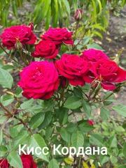 Розы штамбовые,  частный питомник Рай у дома